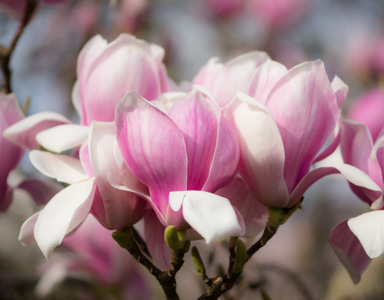 Magnolie in voller Pracht